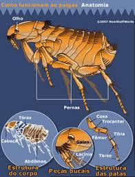 Anatomia da Pulga