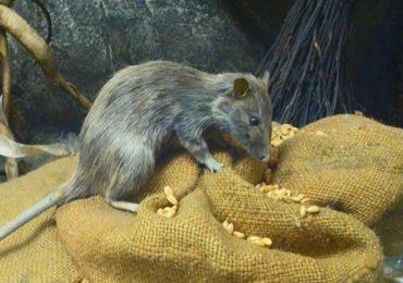 Como Manter ratos longe da sua residência