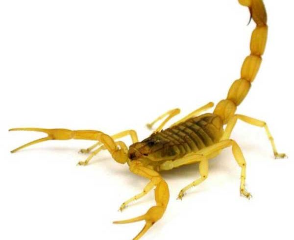 escorpiao-amarelo